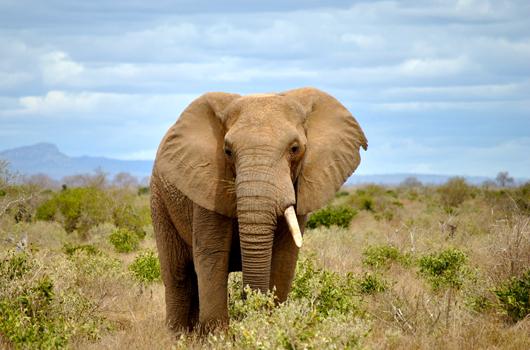 Elephant / animaux-cie.com